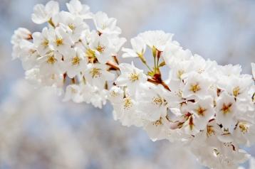 Cherry Blossom 07