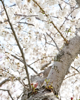 Cherry Blossoms, Tidal Basin, Washington D.C. - Canon EOS 20D - Digital - March 2011