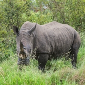 IMG_0002-White-Rhinoceros