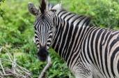 IMG_0024-Burchells-Zebra