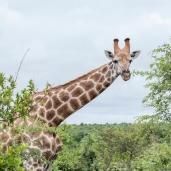 IMG_0026-Giraffe