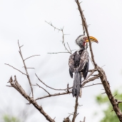 IMG_0041-Southern-Yellow-billed-Hornbill