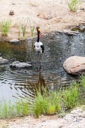 IMG_0065-Saddled-billed-Stork