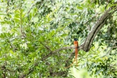 IMG_0112-African-Paradise-flycatcher-Male