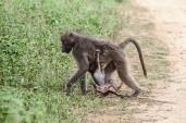 IMG_0160-Vervet-Monkey