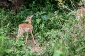 IMG_0168-Baby-Impala