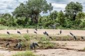 IMG_0190 -Marabou-Stork