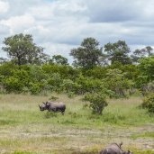 IMG_0211-White-Rhinoceros