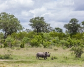 IMG_0213-White-Rhinoceros