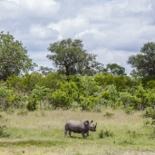 IMG_0213-White-Rhinoceros