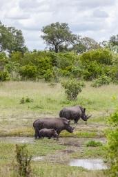IMG_0220-White-Rhinoceros