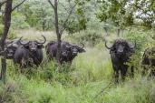 IMG_0237-Cape-Buffalo