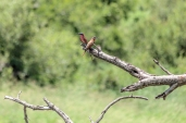 IMG_0288-Southern-Carmine-Bee-eater