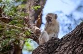 IMG_0294-Vervet-Monkey
