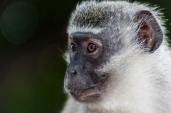 IMG_0310-Vervet-Monkey