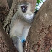 IMG_0320-Vervet-Monkey