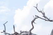 IMG_0372-Long-tailed-Paradise-whydah