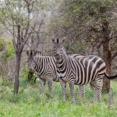 IMG_0393-Burchells-Zebra