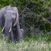 IMG_0453-African-Elephant