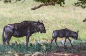 IMG_0692-Blue-Wildebeest