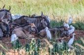 IMG_0698-Blue-WildebeestEastern-Cattle-Egret