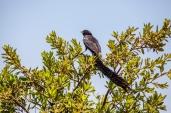 IMG_0706-Red-collared-Widowbird