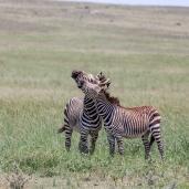 IMG_0729-Burchells-Zebra