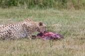 IMG_0977-Cheetah
