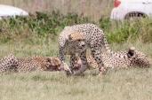 IMG_0982-Cheetah