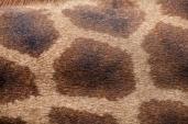 IMG_1051-Giraffe