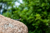 IMG_8941-Agama-Lizard