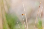 IMG_8977-Meadowhawk-Dragonfly