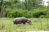 IMG_9348-Hippopotamus