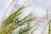 IMG_9388-Pied-Kingfisher