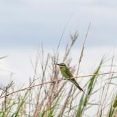 IMG_9396-Bohms-Bee-eater