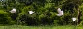 IMG_9440-Eastern-Cattle-Egret