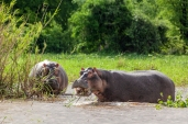 IMG_9456-Hippopotamus