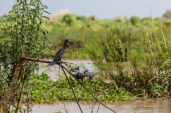 IMG_9516-Long-tailed-Cormorant
