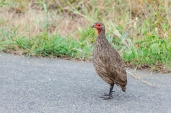 IMG_9640-Swainsons-Spurfowl