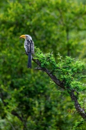 IMG_9644-Southern-Yellow-billed-Hornbill