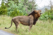 IMG_9782-African-Lion