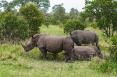 IMG_9799-White-Rhinoceros