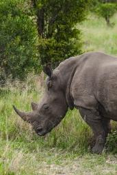 IMG_9801-White-Rhinoceros
