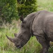 IMG_9801-White-Rhinoceros