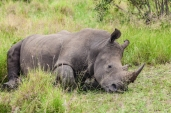 IMG_9805-White-Rhinoceros