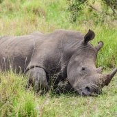 IMG_9805-White-Rhinoceros