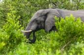 IMG_9826-African-Elephant
