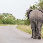 IMG_9834-African-Elephant