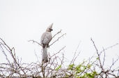 IMG_9849-Grey-Go-away-bird