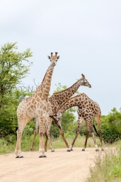 IMG_9868-Giraffe